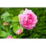 Magnolienblätter 5ml