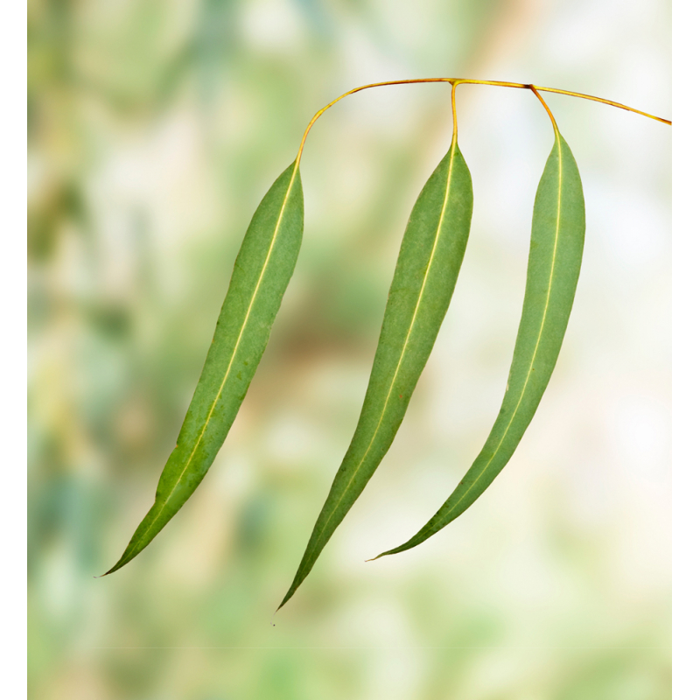 Ylang Ylang extra bio 5ml