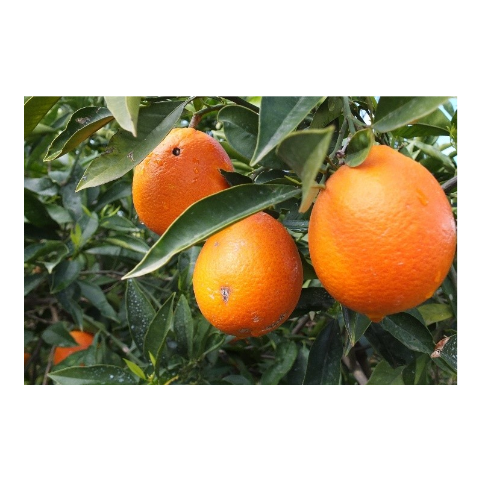 Lemonmyrte bio 5ml
