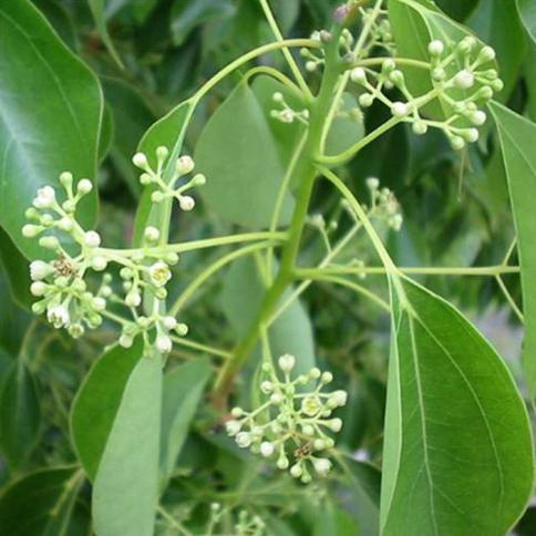 Ravintsara Pflanze