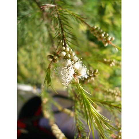 Teebaum Pflanze