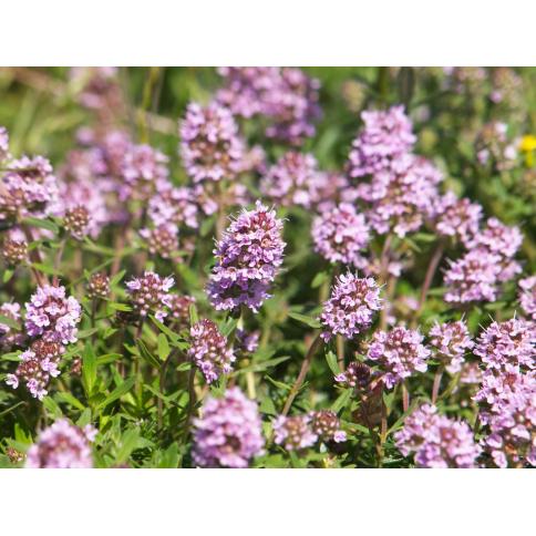 Thymian vulgaris Pflanze