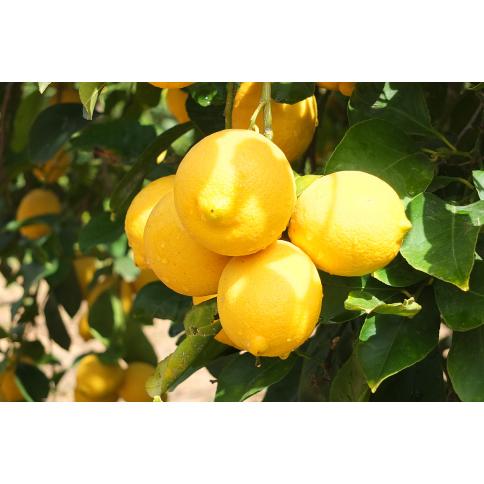 Zitronen Pflanze