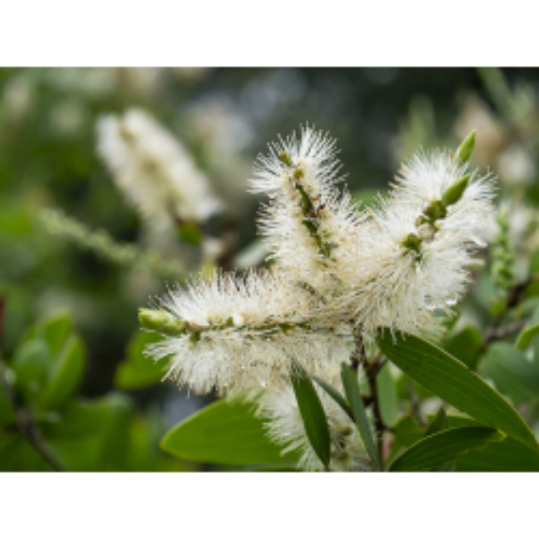 Niaouli Pflanze